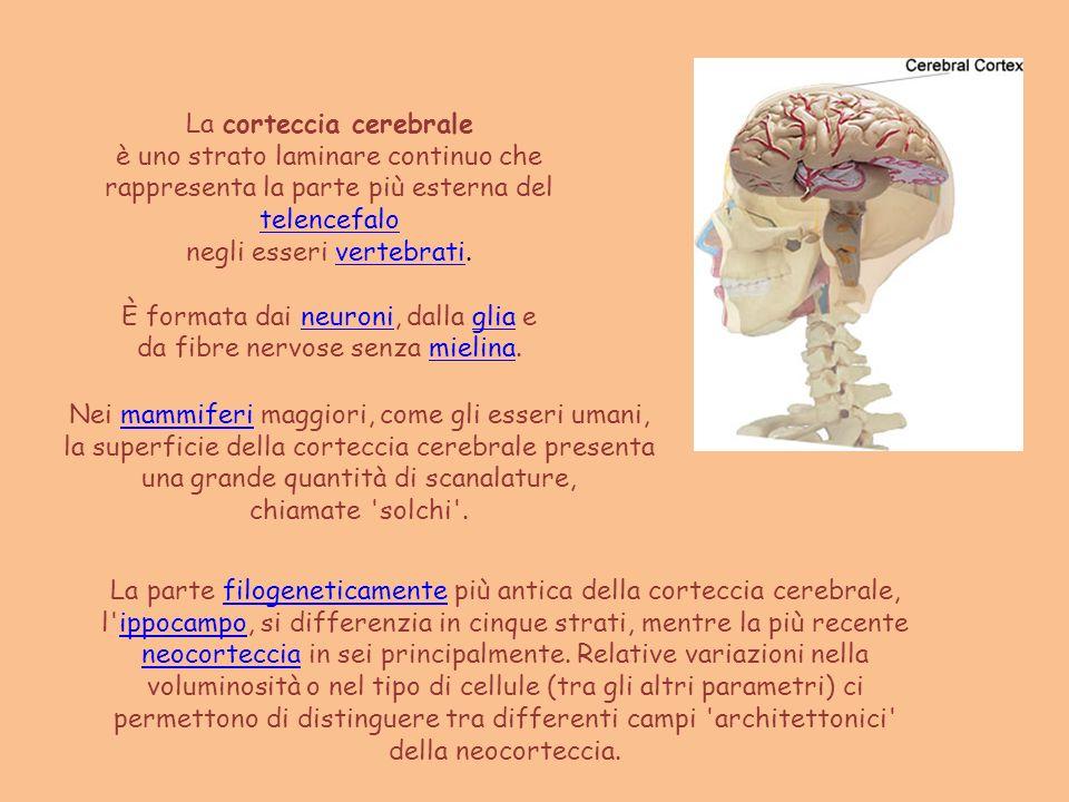 La corteccia cerebrale è uno strato laminare continuo che rappresenta la parte più esterna del telencefalo telencefalo negli esseri vertebrati.vertebr