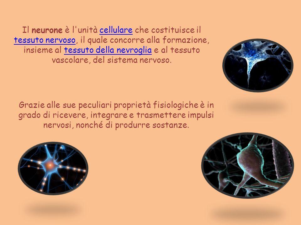 Il neurone è l'unità cellulare che costituisce il tessuto nervoso, il quale concorre alla formazione, insieme al tessuto della nevroglia e al tessuto