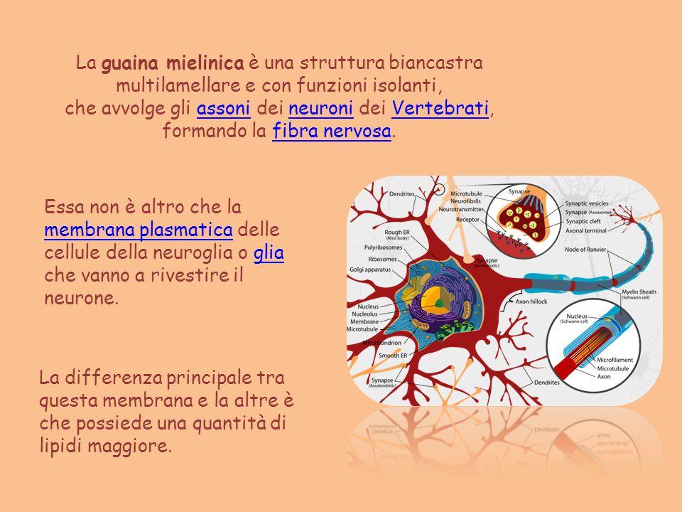 La guaina mielinica è una struttura biancastra multilamellare e con funzioni isolanti, che avvolge gli assoni dei neuroni dei Vertebrati,assonineuroni