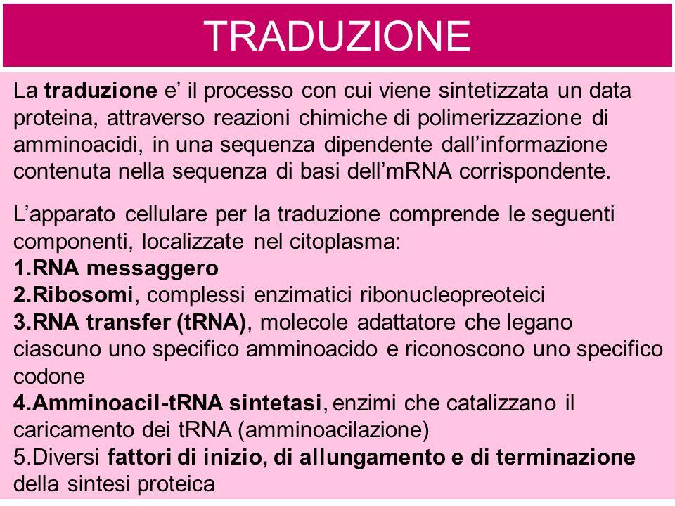 TRADUZIONE La traduzione e il processo con cui viene sintetizzata un data proteina, attraverso reazioni chimiche di polimerizzazione di amminoacidi, in una sequenza dipendente dallinformazione contenuta nella sequenza di basi dellmRNA corrispondente.