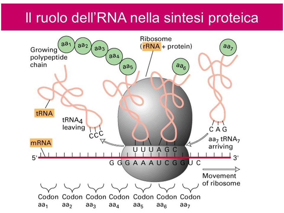 Il ruolo dellRNA nella sintesi proteica
