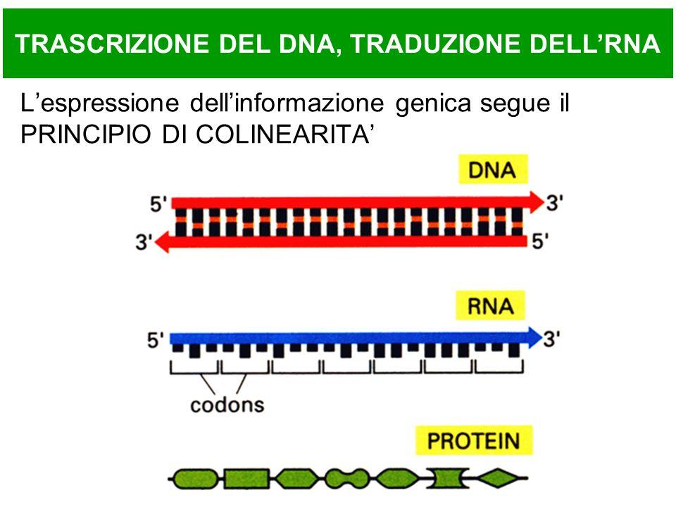 Caricamento di un tRNA Reazioni: 1.amino acid + ATP aminoacyl-AMP + PPi (attivazione AA) 2.aminoacyl-AMP + tRNA aminoacyl-tRNA + AMP(caricamento sullo specifico tRNA)