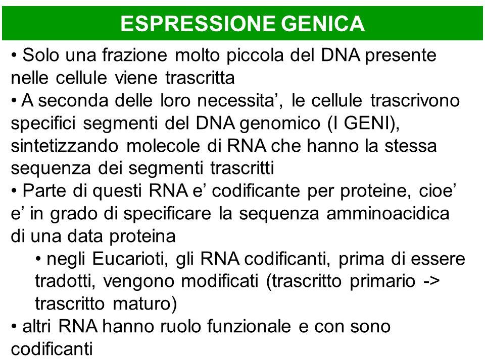 ESPRESSIONE GENICA Solo una frazione molto piccola del DNA presente nelle cellule viene trascritta A seconda delle loro necessita, le cellule trascrivono specifici segmenti del DNA genomico (I GENI), sintetizzando molecole di RNA che hanno la stessa sequenza dei segmenti trascritti Parte di questi RNA e codificante per proteine, cioe e in grado di specificare la sequenza amminoacidica di una data proteina negli Eucarioti, gli RNA codificanti, prima di essere tradotti, vengono modificati (trascritto primario -> trascritto maturo) altri RNA hanno ruolo funzionale e con sono codificanti