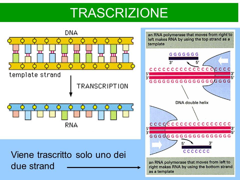 MATURAZIONE DELLRNA dal trascritto primario al messaggero maturo MODIFICAZIONI PRINCIPALI Aggiunta di una guanosina modificata allestremita 5 con un legame 5-5 che forma un gruppo terminale detto CAP, necessario al legame dellmRNA ai ribosomi ed allinizio della traduzione.