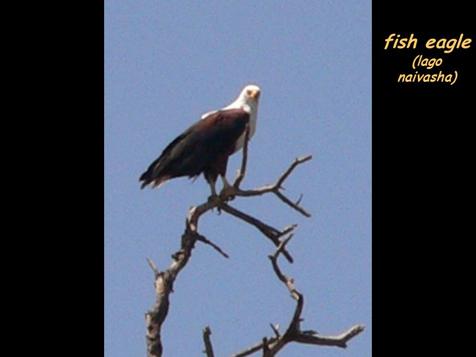 fish eagle (lago naivasha)