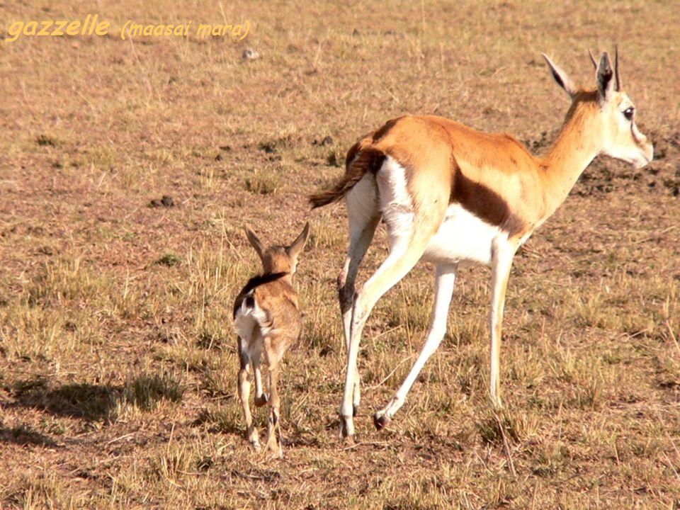 gazzelle (maasai mara)