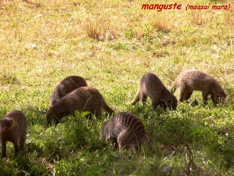 manguste (maasai mara)