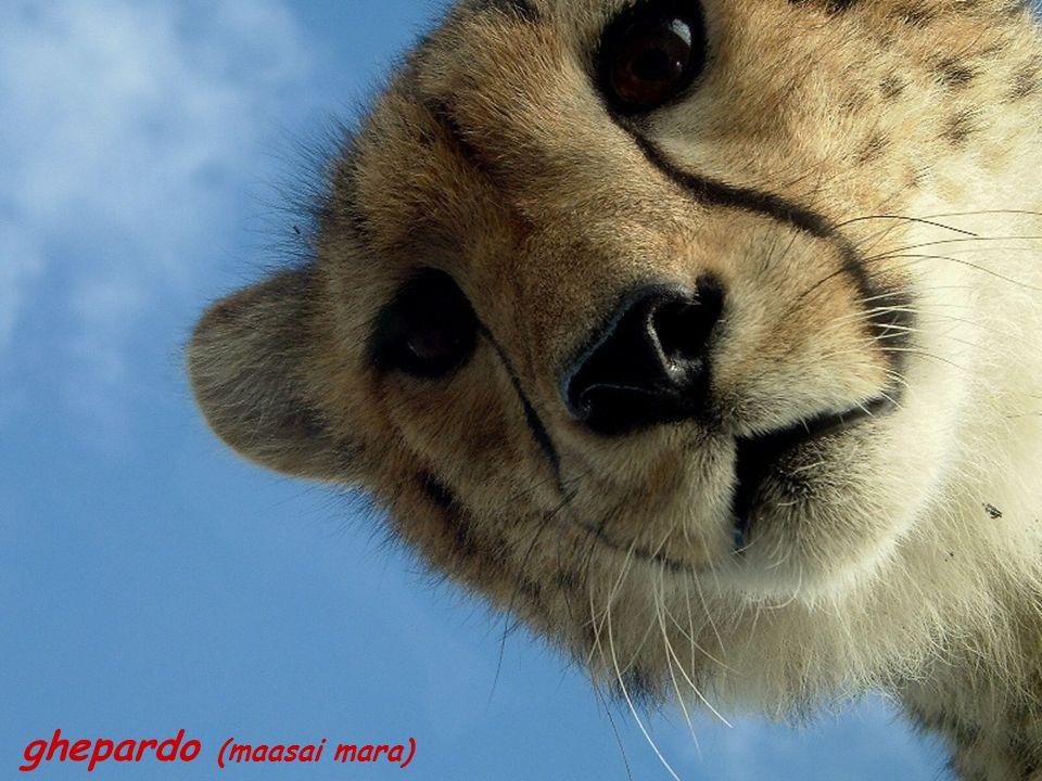 ghepardo (maasai mara)