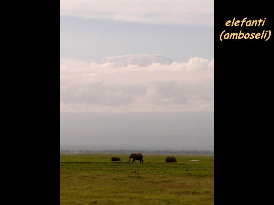 elefanti (amboseli)