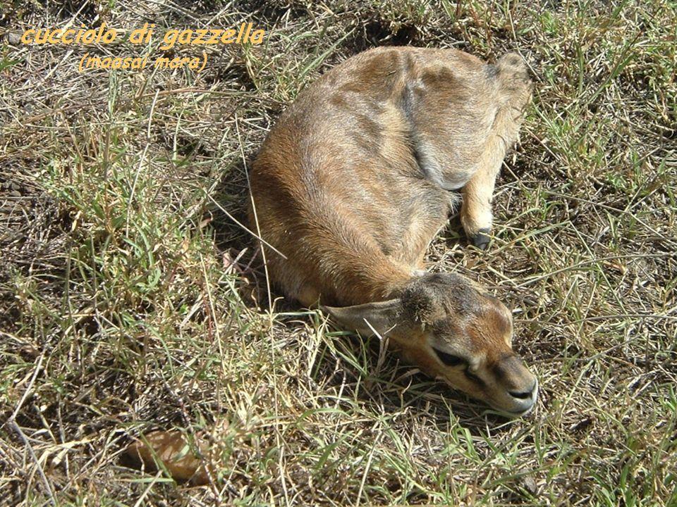 cucciolo di gazzella (maasai mara)
