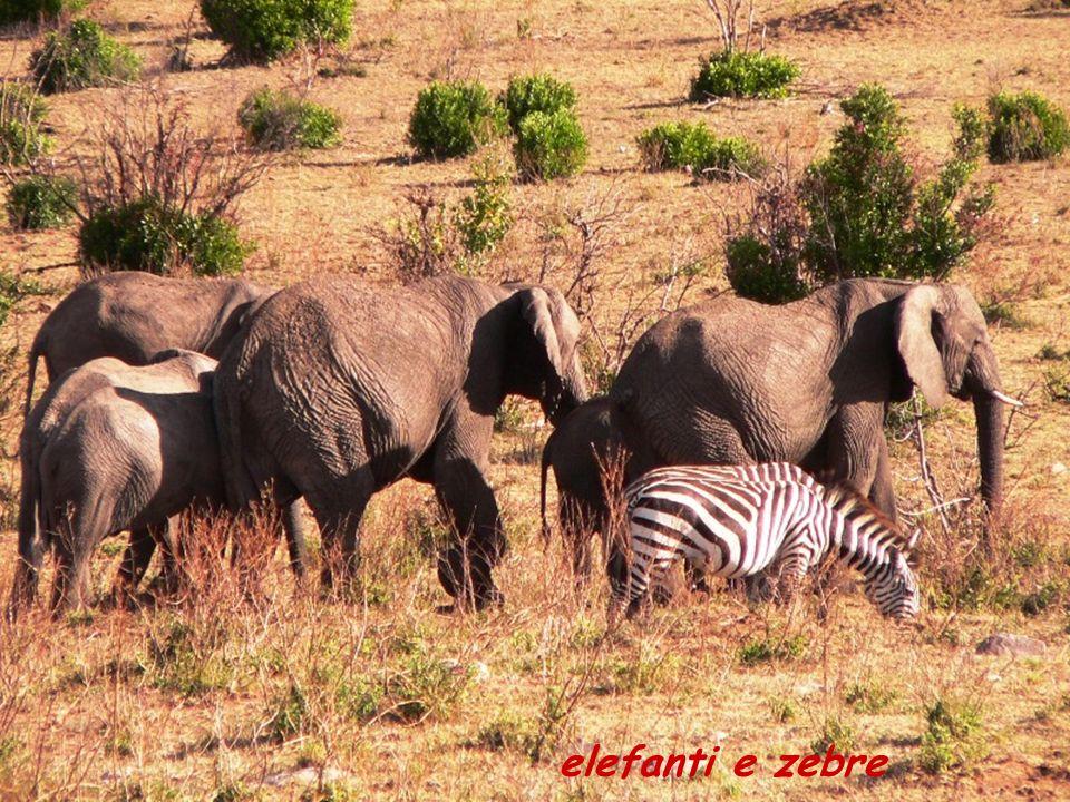 elefanti e zebre