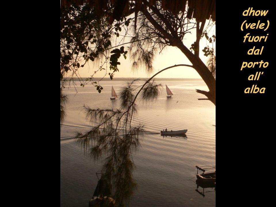 dhow (vele) fuori dal porto all alba