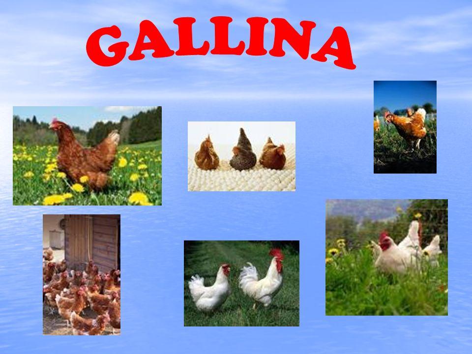 I polli come animali domestici hanno funzione molto gratificante per lallevatore del pollame.
