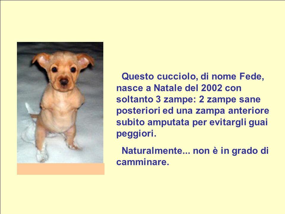 Questo cucciolo, di nome Fede, nasce a Natale del 2002 con soltanto 3 zampe: 2 zampe sane posteriori ed una zampa anteriore subito amputata per evitargli guai peggiori.