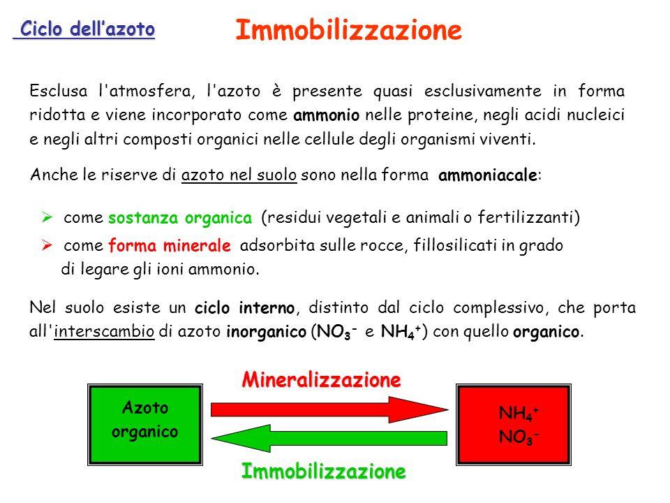 Ciclo dellazoto Ciclo dellazoto Esclusa l'atmosfera, l'azoto è presente quasi esclusivamente in forma ridotta e viene incorporato come ammonio nelle p