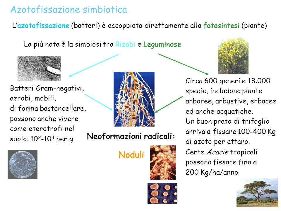 Azotofissazione simbiotica Lazotofissazione (batteri) è accoppiata direttamente alla fotosintesi (piante) La più nota è la simbiosi tra Rizobi e Legum