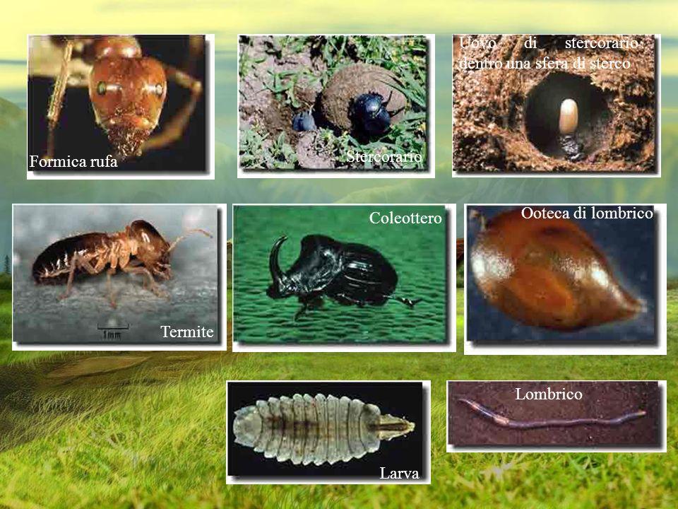 Lombrico Ooteca di lombrico Termite Stercorario Uovo di stercorario dentro una sfera di sterco Formica rufa Larva Coleottero
