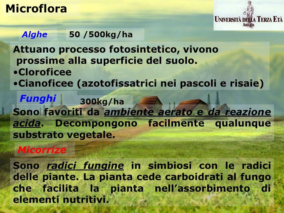 Microflora Alghe Attuano processo fotosintetico, vivono prossime alla superficie del suolo. Cloroficee Cianoficee (azotofissatrici nei pascoli e risai