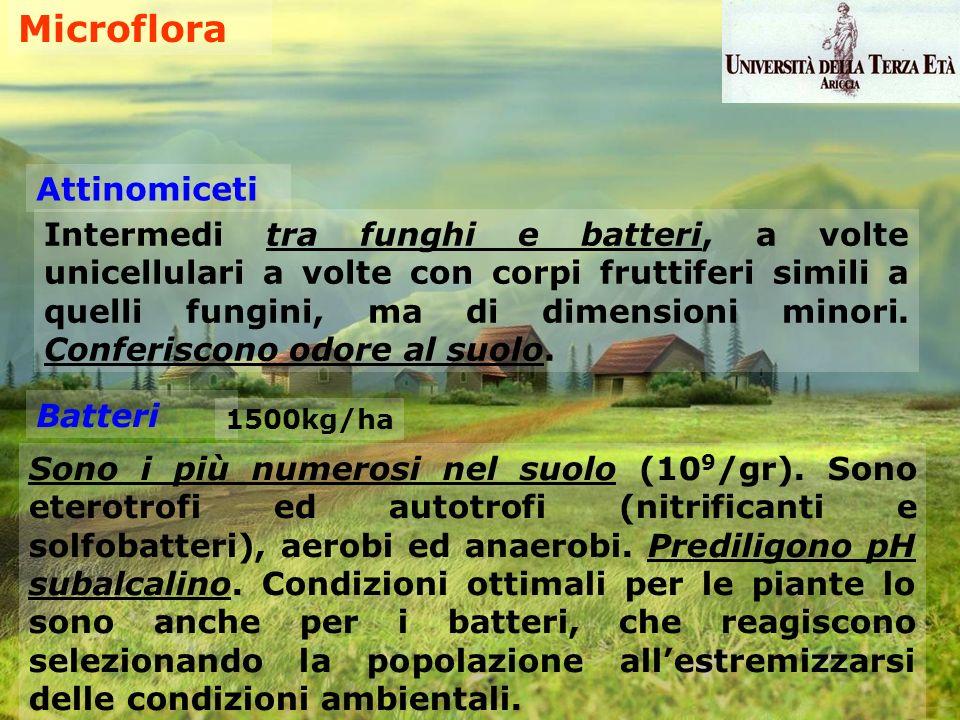 Microflora Attinomiceti Intermedi tra funghi e batteri, a volte unicellulari a volte con corpi fruttiferi simili a quelli fungini, ma di dimensioni mi