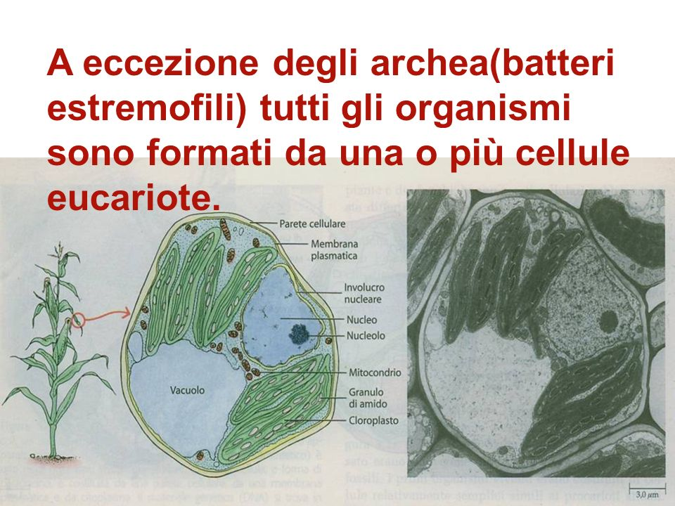 Lincremento di ossigeno libero fu accompagnato dalla comparsa delle prime cellule eucariote Cellule con involucro nucleare,cromosomi complessi e organ