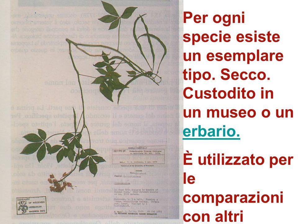 I nomi sono oggi tutti raccolti nel Codice Internazionale di Nomenclatura Botanica Alcune regole della nomenclatura: il genere è sempre Maiuscolo e le
