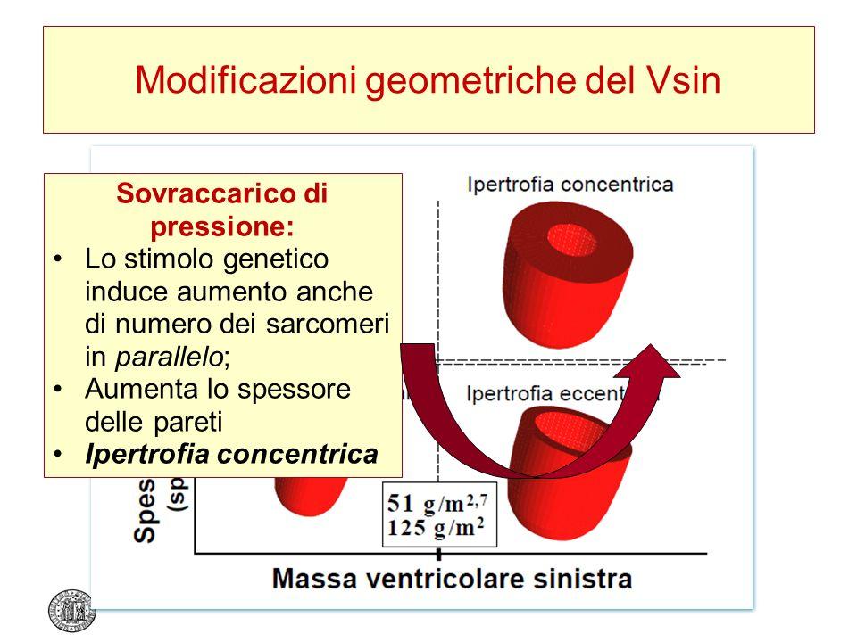 Modificazioni geometriche del Vsin Sovraccarico di pressione: Lo stimolo genetico induce aumento anche di numero dei sarcomeri in parallelo; Aumenta l