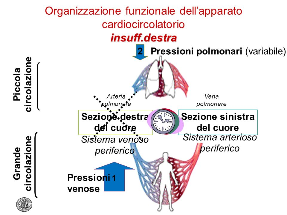 insuff.destra Organizzazione funzionale dellapparato cardiocircolatorio insuff.destra Piccola circolazione Grande circolazione Sezione destra del cuor