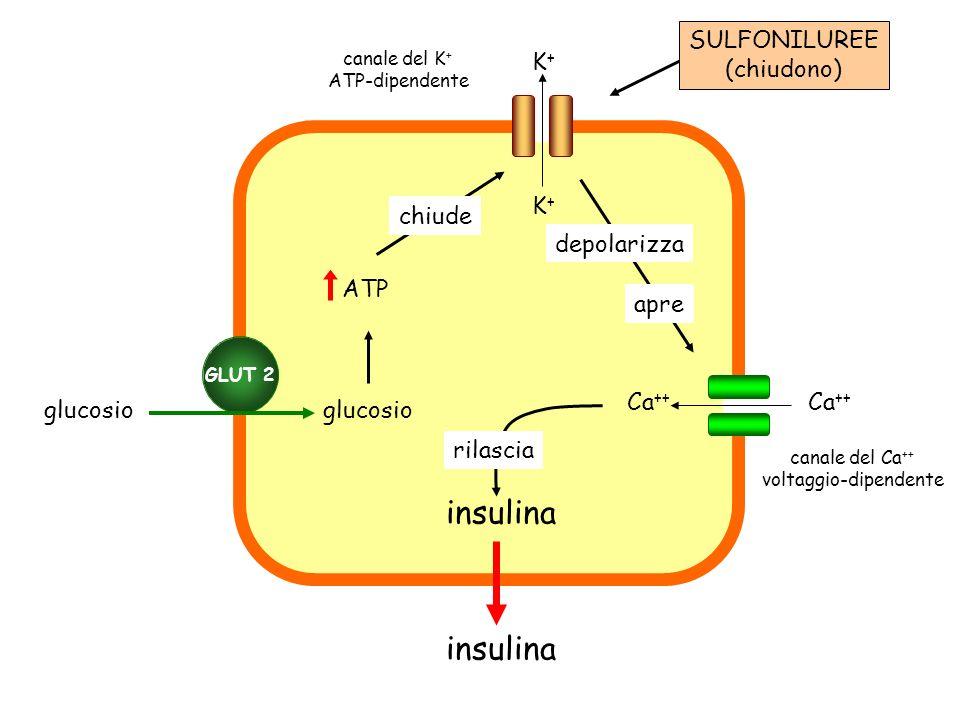 insulina GLUT 2 glucosio ATP K+K+ K+K+ Ca ++ chiude depolarizza apre rilascia SULFONILUREE (chiudono) canale del Ca ++ voltaggio-dipendente canale del