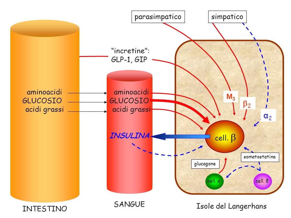 aminoacidi GLUCOSIO acidi grassi INTESTINO SANGUE Isole del Langerhans INSULINA cell. incretine: GLP-1, GIP 2 α2α2 M3M3 simpaticoparasimpatico aminoac