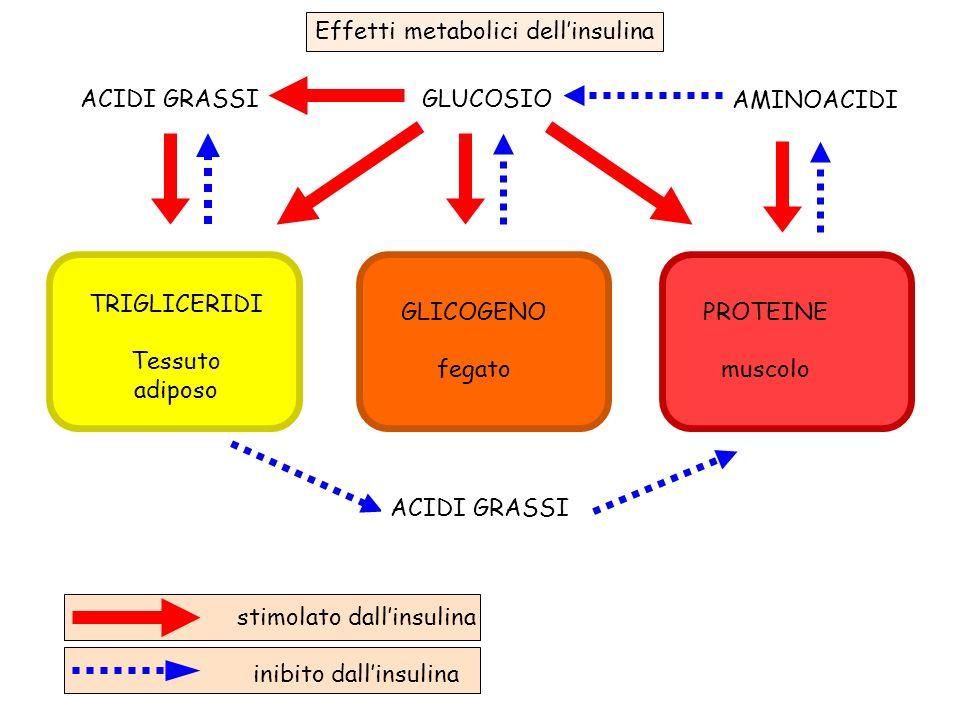 GLUCOSIOACIDI GRASSI AMINOACIDI TRIGLICERIDI Tessuto adiposo GLICOGENO fegato PROTEINE muscolo stimolato dallinsulina inibito dallinsulina ACIDI GRASS