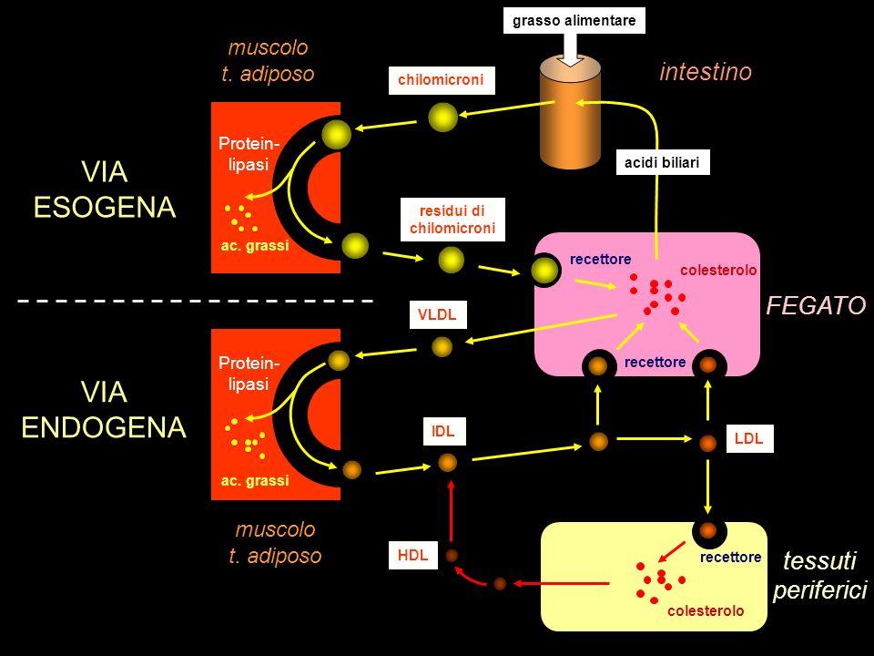 grasso alimentare FEGATO tessuti periferici intestino muscolo t. adiposo muscolo t. adiposo chilomicroni residui di chilomicroni VLDL IDL LDL HDL VIA