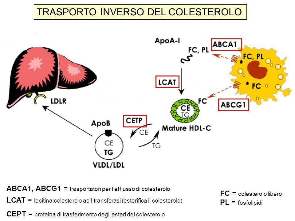 Classificazione di Frederickson delle dislipidemie lipoproteina aspettocolesterolotrigliceridi TIPO elevata siero I chilomicronilattescente IIa LDL limpido IIb LDL + VLDL limpido III IDL torbido IV VLDL torbido V chilomicroni lattescente + VLDL Tipo IIa e IIb = elevato rischio cardiovascolare Tipo III e IV = moderato rischio cardiovascolare Tipo IV e V = rischio di pancreatite