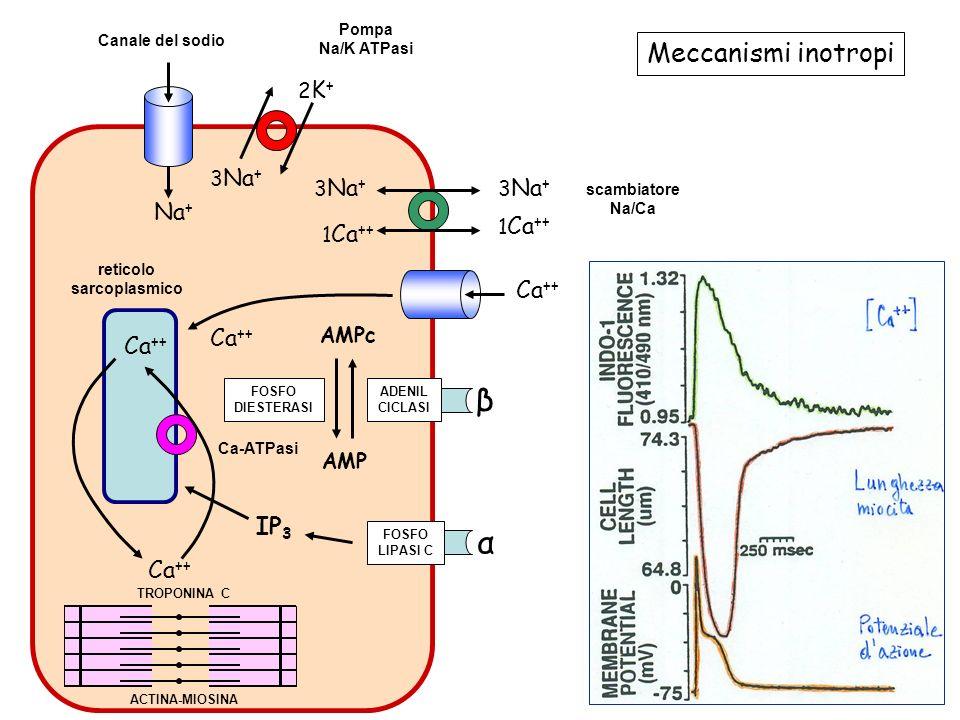 FOSFO LIPASI C α FOSFO DIESTERASI ADENIL CICLASI β Canale del sodio Canale del calcio Pompa Na/K ATPasi scambiatore Na/Ca Ca ++ 1 Ca ++ Ca ++ 3 Na + Na + TROPONINA C ACTINA-MIOSINA reticolo sarcoplasmico Ca-ATPasi IP 3 AMPc AMP 3 Na + 2K+2K+ 1 Ca ++ 3 Na + Meccanismi inotropi