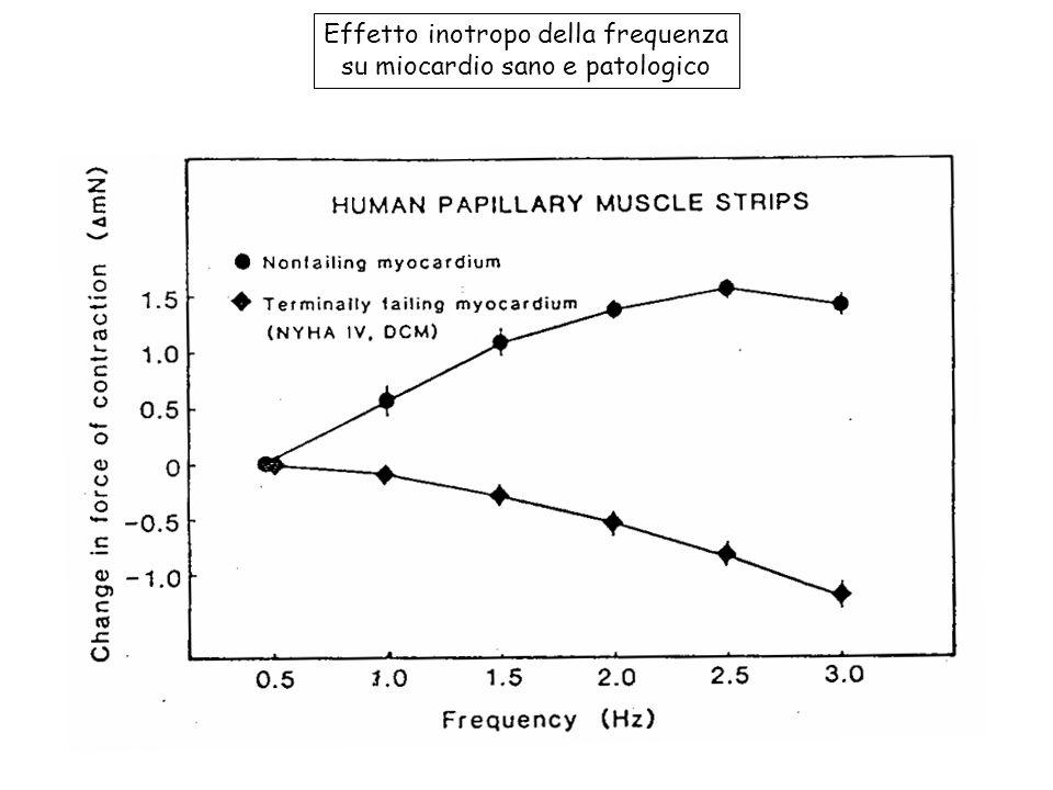 Effetto inotropo della frequenza su miocardio sano e patologico
