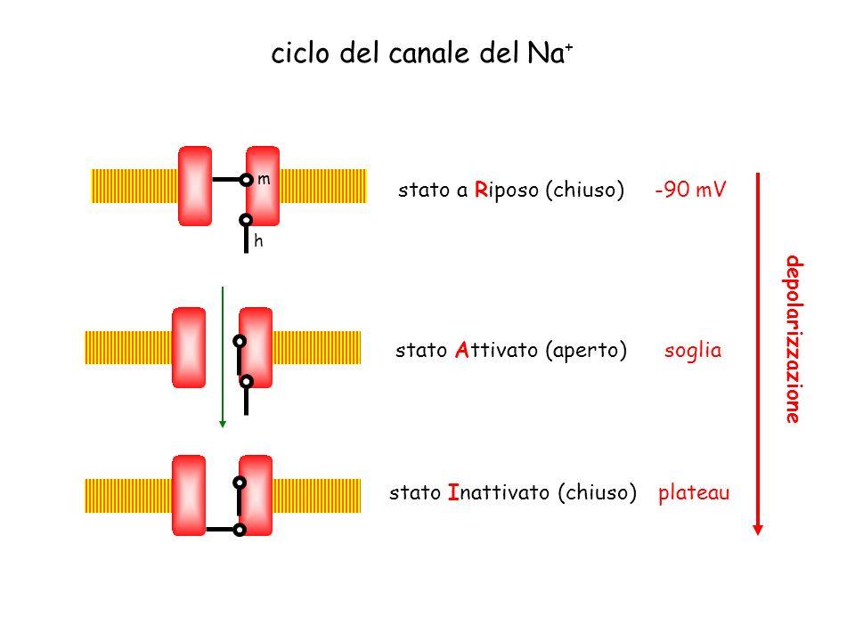 m h ciclo del canale del Na + stato a Riposo (chiuso)-90 mV stato Attivato (aperto) soglia stato Inattivato (chiuso) plateau depolarizzazione