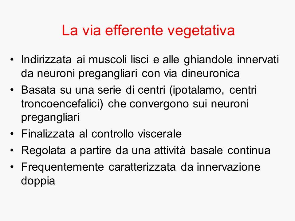 La via efferente vegetativa Indirizzata ai muscoli lisci e alle ghiandole innervati da neuroni pregangliari con via dineuronica Basata su una serie di