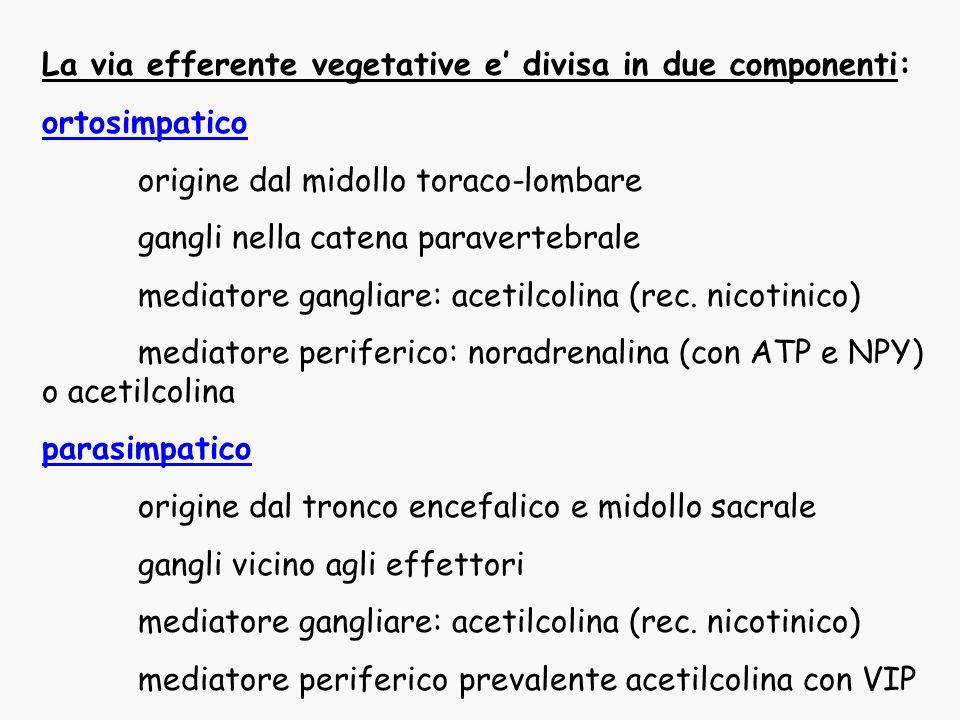 La via efferente vegetative e divisa in due componenti: ortosimpatico origine dal midollo toraco-lombare gangli nella catena paravertebrale mediatore