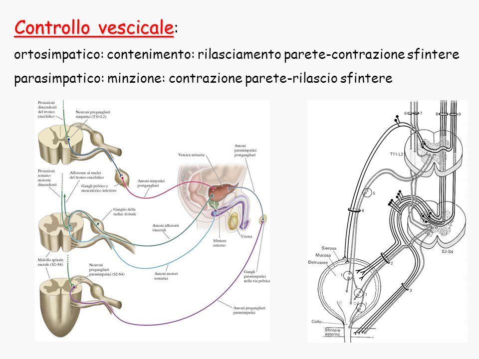 Controllo vescicale Controllo vescicale : ortosimpatico: contenimento: rilasciamento parete-contrazione sfintere parasimpatico: minzione: contrazione