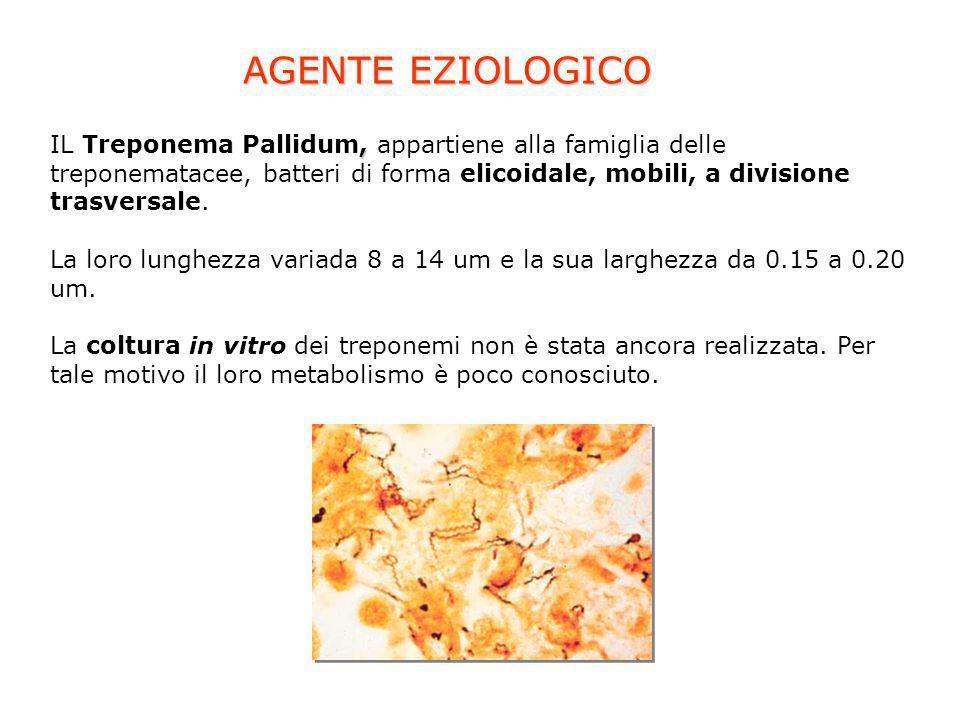AGENTE EZIOLOGICO, IL Treponema Pallidum, appartiene alla famiglia delle treponematacee, batteri di forma elicoidale, mobili, a divisione trasversale.