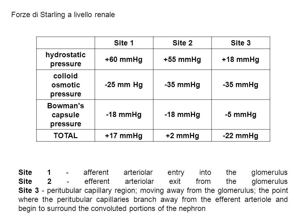 Site 1Site 2Site 3 hydrostatic pressure +60 mmHg+55 mmHg+18 mmHg colloid osmotic pressure -25 mm Hg-35 mmHg Bowman's capsule pressure -18 mmHg -5 mmHg