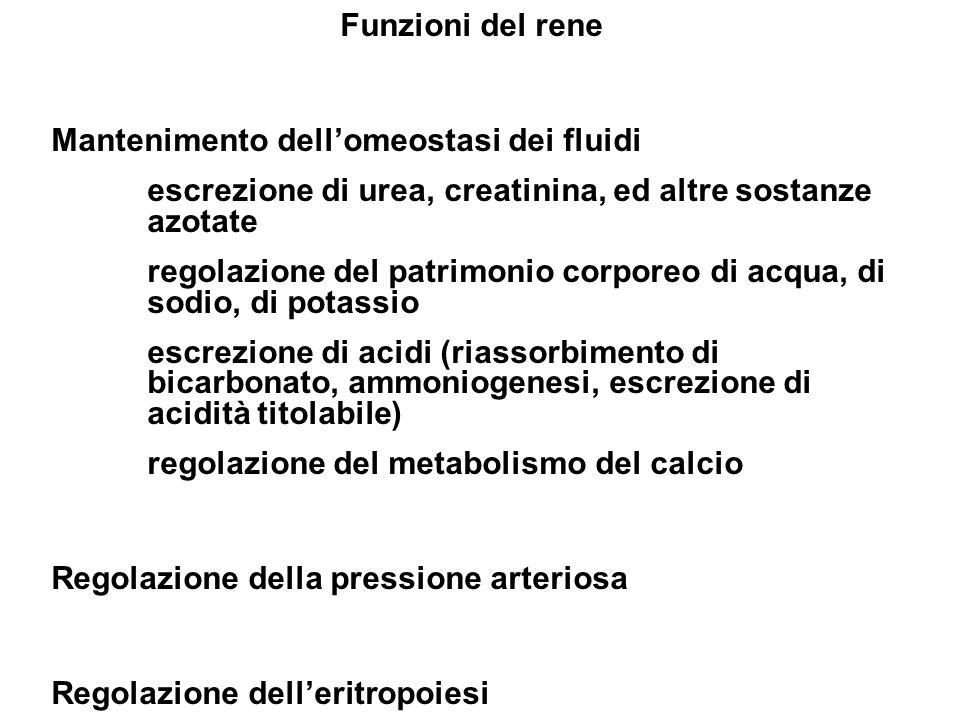 Funzioni del rene Mantenimento dellomeostasi dei fluidi escrezione di urea, creatinina, ed altre sostanze azotate regolazione del patrimonio corporeo
