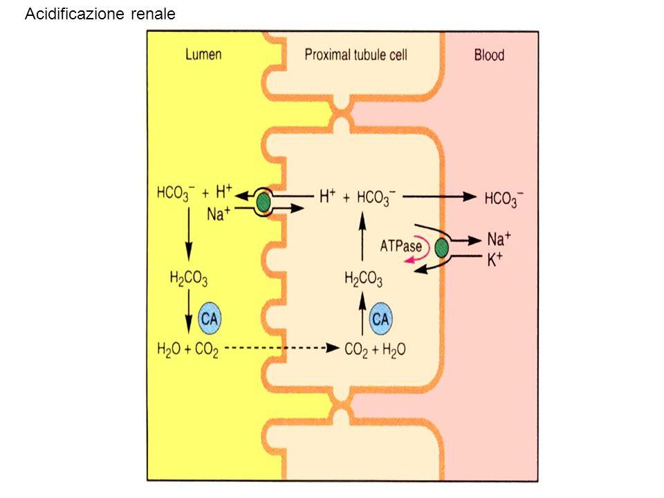 Acidificazione renale