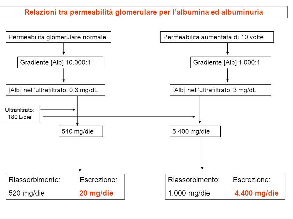 Permeabilità glomerulare normale Gradiente [Alb] 10.000:1 [Alb] nellultrafiltrato: 0.3 mg/dL 540 mg/die Riassorbimento: Escrezione: 520 mg/die 20 mg/d