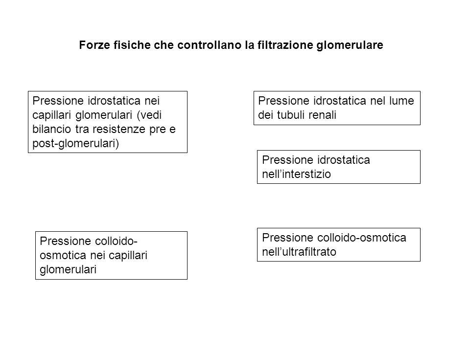 Forze fisiche che controllano la filtrazione glomerulare Pressione idrostatica nei capillari glomerulari (vedi bilancio tra resistenze pre e post-glom