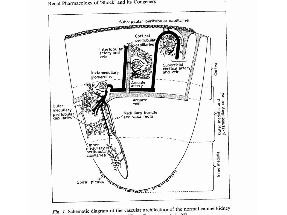Aspetti peculiari: -Elevata perfusione della corticale esterna -Ridotta perfusione della midollare interna - Circolazione glomerulare e suo controllo - Circolazione della corticale juxtamidollare - I vasi retti - Conseguenza cliniche di queste peculiarità fisiopatologiche