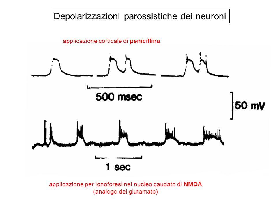 Depolarizzazioni parossistiche dei neuroni applicazione corticale di penicillina applicazione per ionoforesi nel nucleo caudato di NMDA (analogo del glutamato)