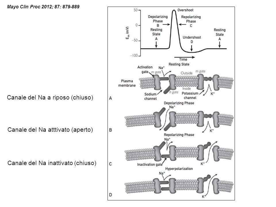 Mayo Clin Proc 2012; 87: 879-889 Canale del Na a riposo (chiuso) Canale del Na atttivato (aperto) Canale del Na inattivato (chiuso)