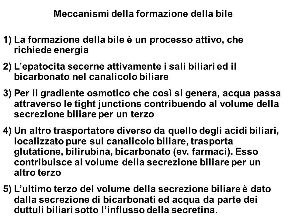 Meccanismi della formazione della bile 1)La formazione della bile è un processo attivo, che richiede energia 2)Lepatocita secerne attivamente i sali biliari ed il bicarbonato nel canalicolo biliare 3)Per il gradiente osmotico che così si genera, acqua passa attraverso le tight junctions contribuendo al volume della secrezione biliare per un terzo 4)Un altro trasportatore diverso da quello degli acidi biliari, localizzato pure sul canalicolo biliare, trasporta glutatione, bilirubina, bicarbonato (ev.