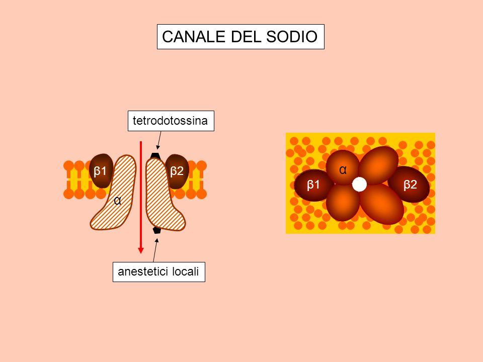 α β2β2β1β1 tetrodotossina anestetici locali CANALE DEL SODIO β2β2β1β1 α