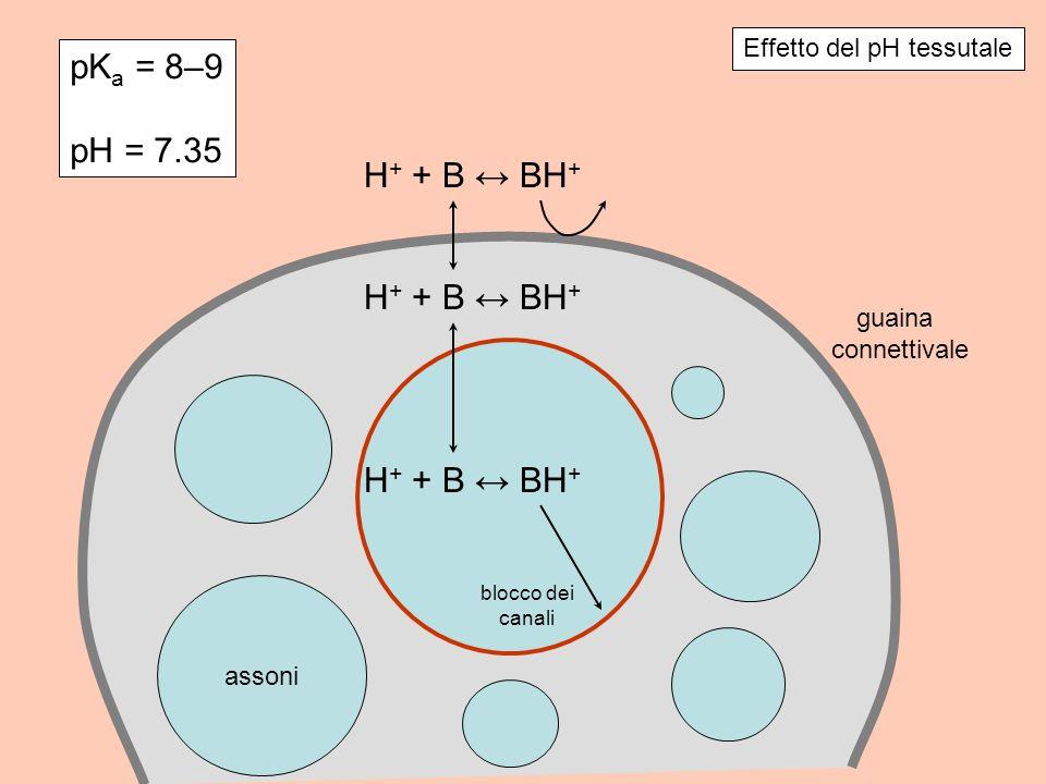 pK a = 8–9 pH = 7.35 Effetto del pH tessutale assoni guaina connettivale H + + B BH + blocco dei canali H + + B BH +